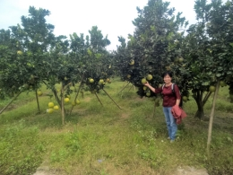 VinaCert assessed VietGAP red grapefruit in Hoa Binh and Dien grapefruit in Thanh Hoa