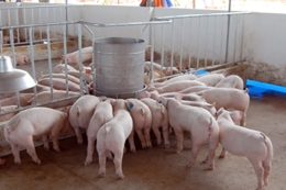 """VinaCert responds to the calls from Minister of Ministry of Agriculture and Rural Development to """"rescue"""" the pig-farming industry"""